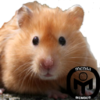 copperhamster